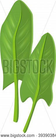 Natural Green Fresh Leaves Of Sorrel, Culinary Herbs. Vector Realistic Illustration Isolated