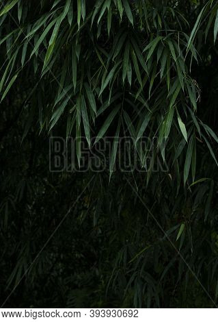 Asian Bamboo Forest Green Bamboo Leaves. Bamboo Leaves Background, Fresh Green Bamboo Bush Backgroun