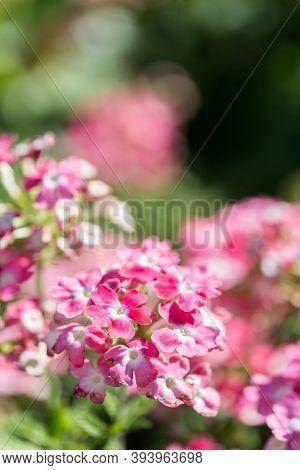 Verbena Flower In A Garden,