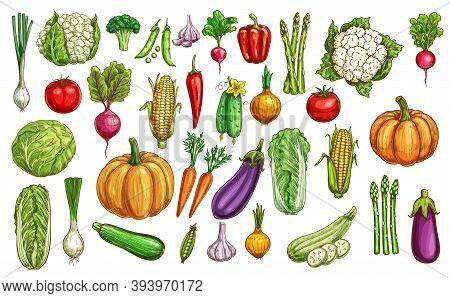 Farm Vegetables And Greenery Color Sketches Set. Pumpkin, Carrot And Beetroot, Eggplant, Chinese Cab