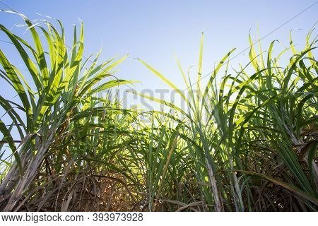 Sugarcane Plantation Field Aerial View With Sun Light. Agricultural Industrial. Sugarcane Is A Grass