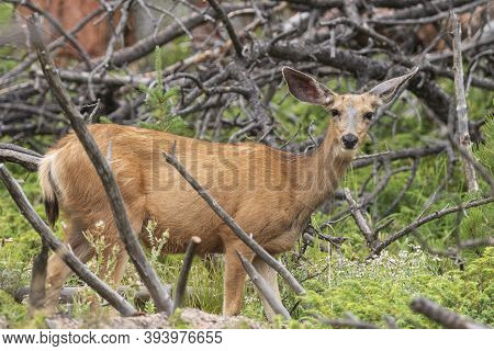 Mule Deer In A Mountain Forest In Ocky Mountain National Park In Colorado