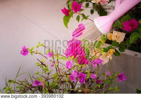 Pink Lotus Watering Bougainvillea Flowers In Fuchsia.