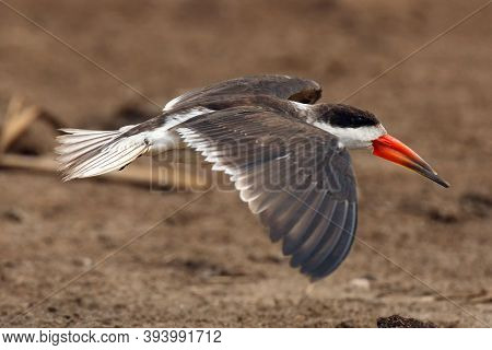 The African Skimmer (rynchops Flavirostris), Portrait Of A Flying Bird A Large African Skimmer With
