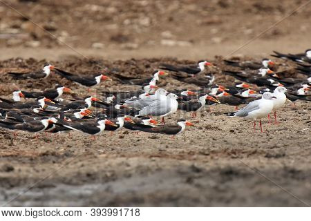 The African Skimmer (rynchops Flavirostris), Skimmer Flock And Gulls On The African River Bank