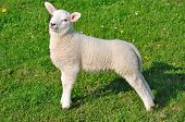 posing Lamb on a Dyke in East Frisia,North Sea,Germany poster