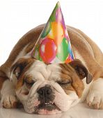 english bulldog wearing birthday party hat isolated on white background poster