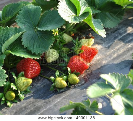 Cultivation of strawberries closeup view