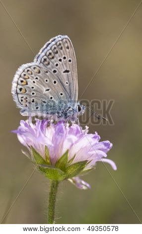 Small Blueish Butterfly On Flower