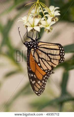 Monarch Butterfly Stages
