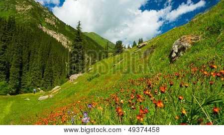 Mountains, meadows in orange flowers and a green grass