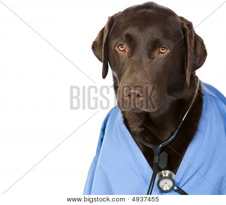 Dr Labrador With Copy Space