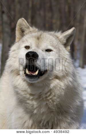 Arctic Wolf (Canis lupus arctos) frontal portrait in snow poster