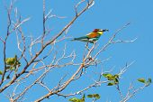 bee-eater(merops apiaster) and the blue sky poster