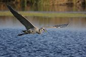 Great Blue Heron (Ardea Herodias) in flight in the Florida Everglades poster
