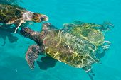 swimming sea turtles in clear turquoise sea water poster