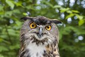 European Eagle Owl with comical look on his face poster