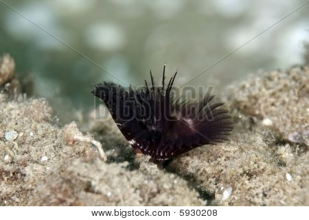 feather duster worm taken in the red sea. poster