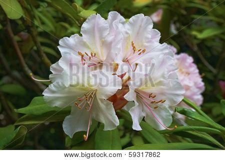 Rhododendron White