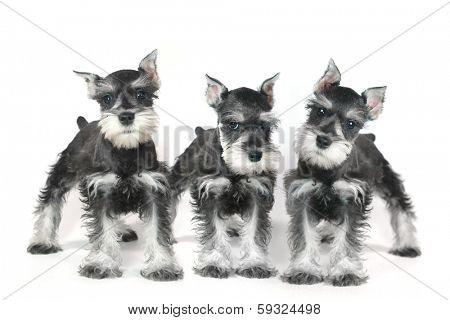 Adorable and Cute Baby Miniature Schnauzer Puppy Dog on White