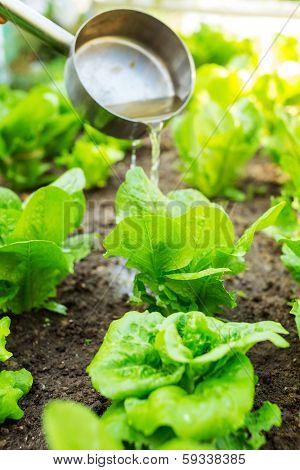 Fertilizes of lettuce field