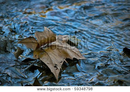 Sycamore Leaf in a Creek