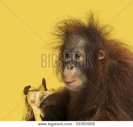 Close-up of a young Bornean orangutan eating a banana, Pongo pygmaeus, 18 months old, on a yellow background