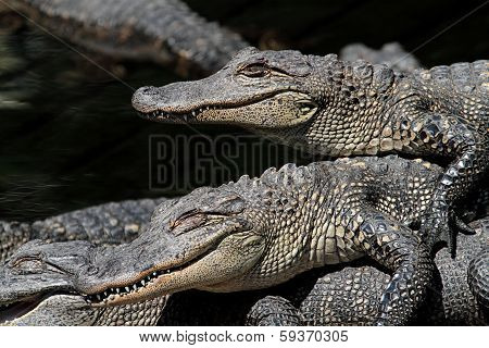 American Alligators Basking In The Sun