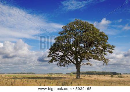 oak in summer field