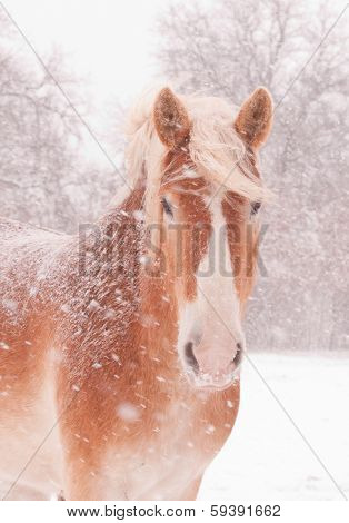 Closeup of a blond Belgian draft horse in a blizzard