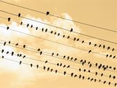 ninety one black and one white bird(s) on wires poster