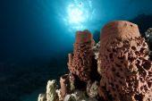prickly tube-sponge taken in the red sea. poster