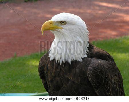 Bald Eagle Facing Left