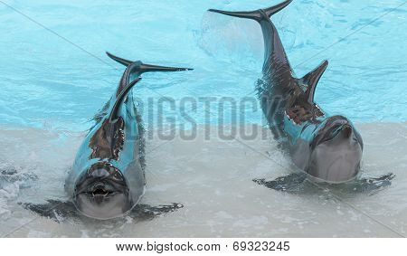Performing Bottle Nose Dolphins