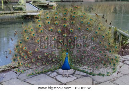 Beautiful Peacock Display
