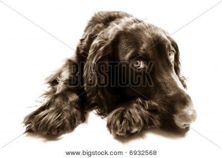 Cute Brown Cocker Spaniel Dog