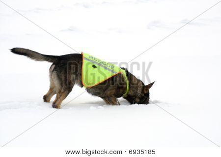 rescue sheepdog searching on white snow background poster