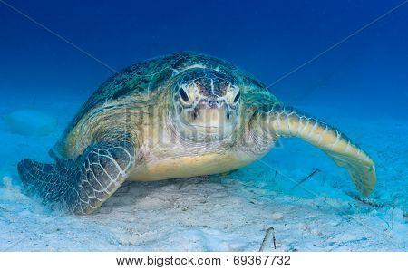 Sea Turtle On The Seabed