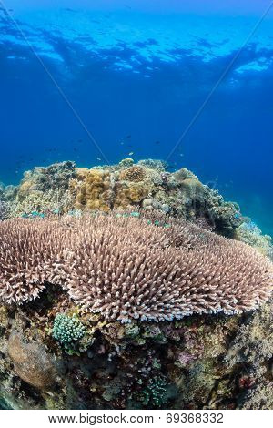 Table corals on a reef