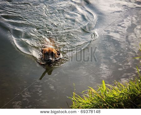 a boxer pit bull mix swimming in a pond with a stick, making ripples in the water poster