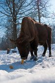 European Bison (Bison bonasus) eating Corn Cobs in Winter time poster