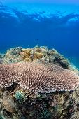 Acropora and fish on a healthy tropical coral reef poster