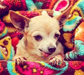 a cute chihuahua wrapped in a paisley throw blanket toned with a retro vintage instagram filter  poster