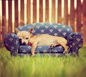 a cute chihuahua napping on a couch toned with a retro vintage instagram filter poster