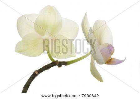 Beautiful light yellow orchids, rarely found