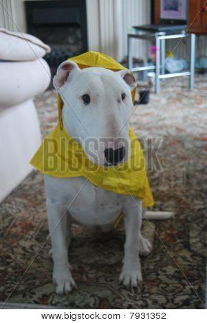 Dog Ready For The Rain