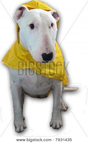 Bull Terrier in a rain coat