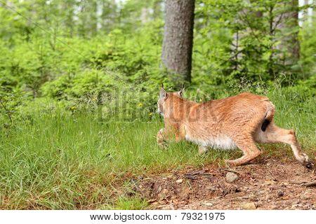 Eurasian Lynx,  Lat. Lynx Lynx