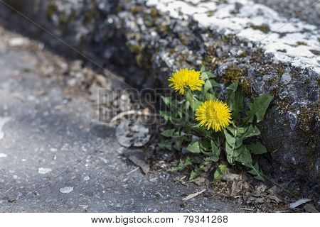 Dandelion Growing At Curb