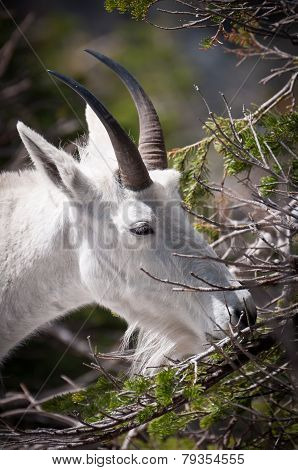 Mountain Goat Chewing Fur-needles